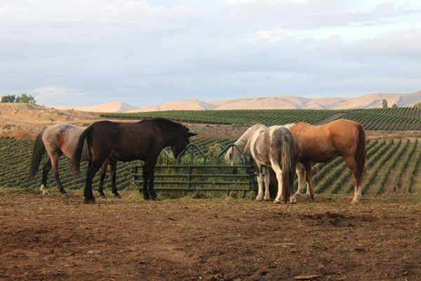 cherry_wood_horses_600_0396