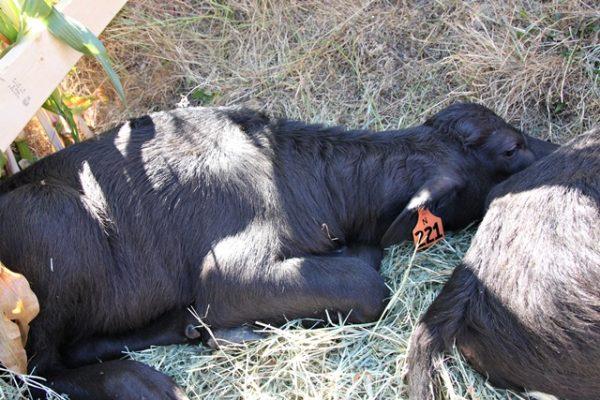 feastoffields-waterbuffalo-640-3470