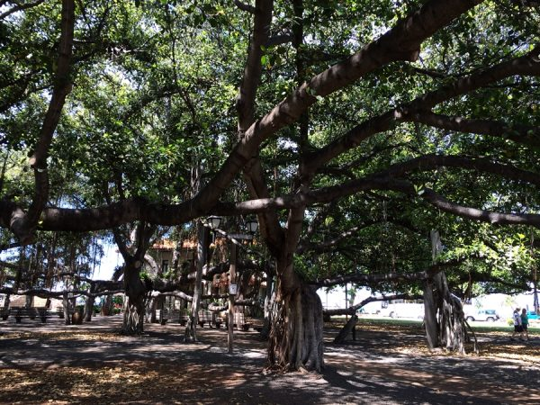 Behold the Banyan tree!