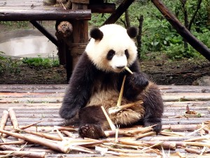 Me...if I was a panda and noodles were bamboo